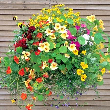 Nasturtium Jewel Of Africa Mix Flower Seeds