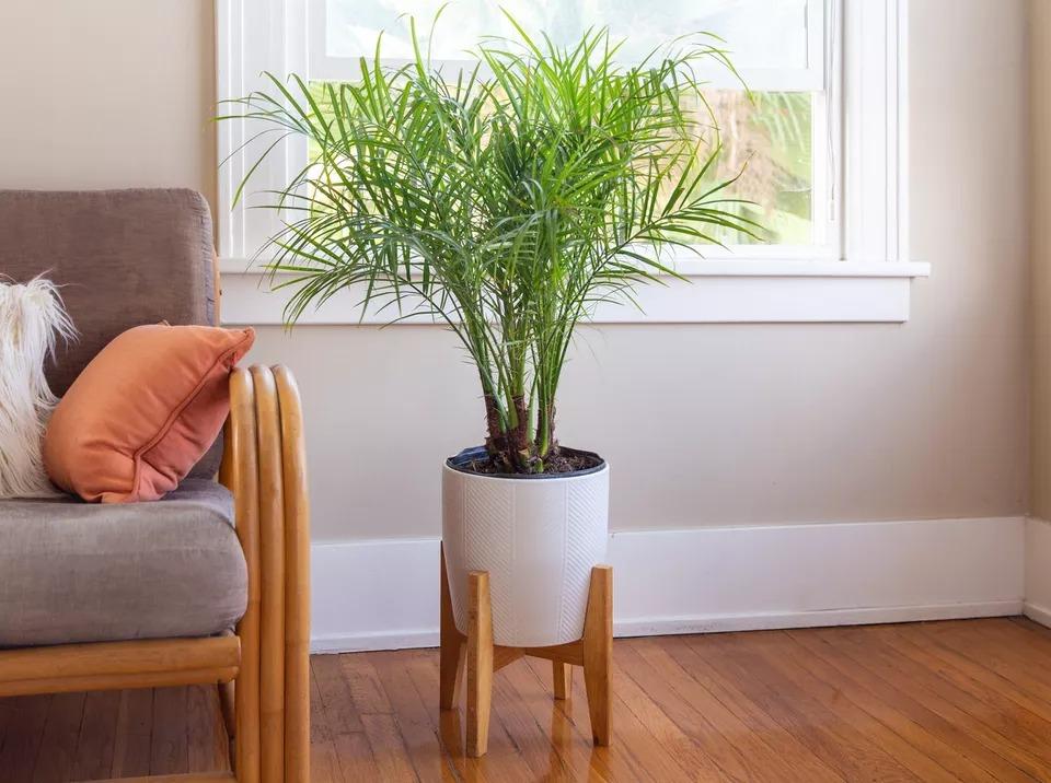 Decorative Phoenix Palm Live Plant