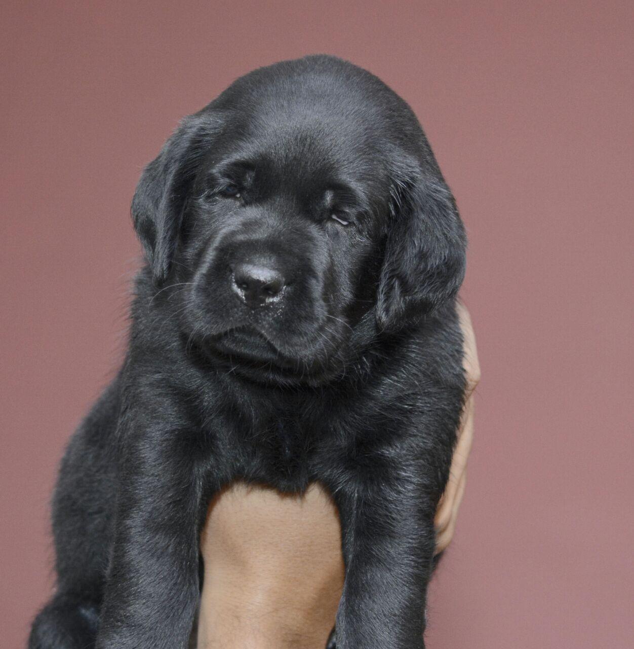 Labrador (Black, Male)