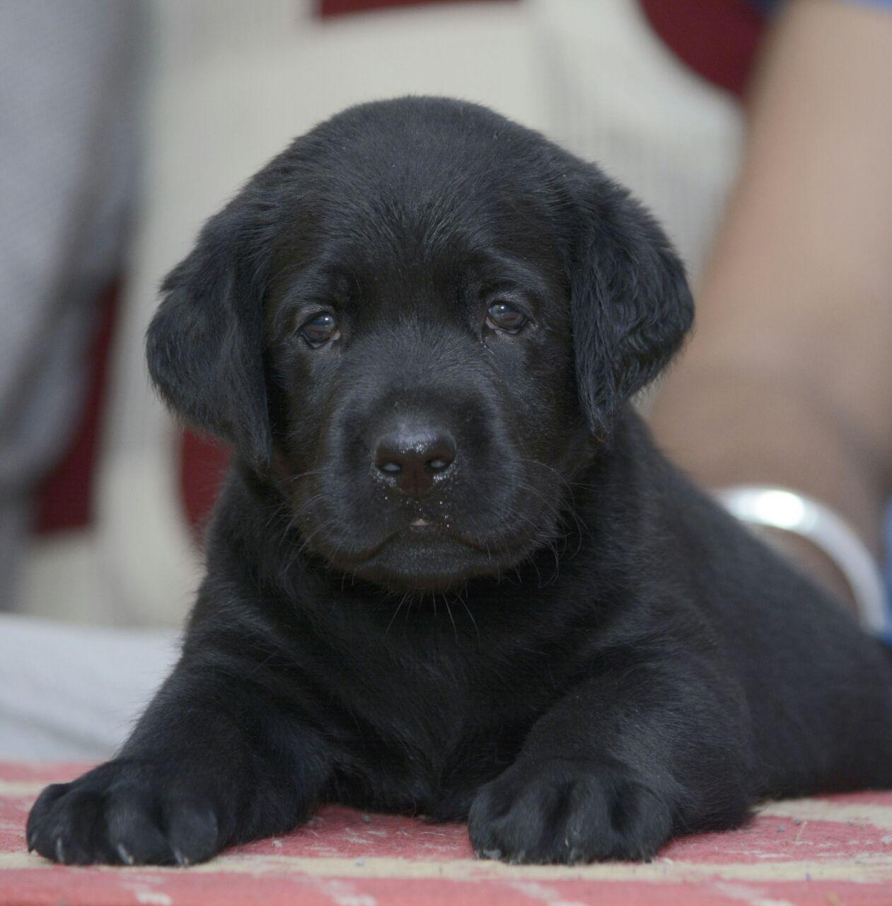 Labrador (Black, Female)