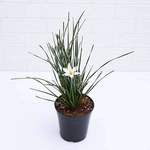 Zephyranthes Candida (White) - Lily Flower Plant