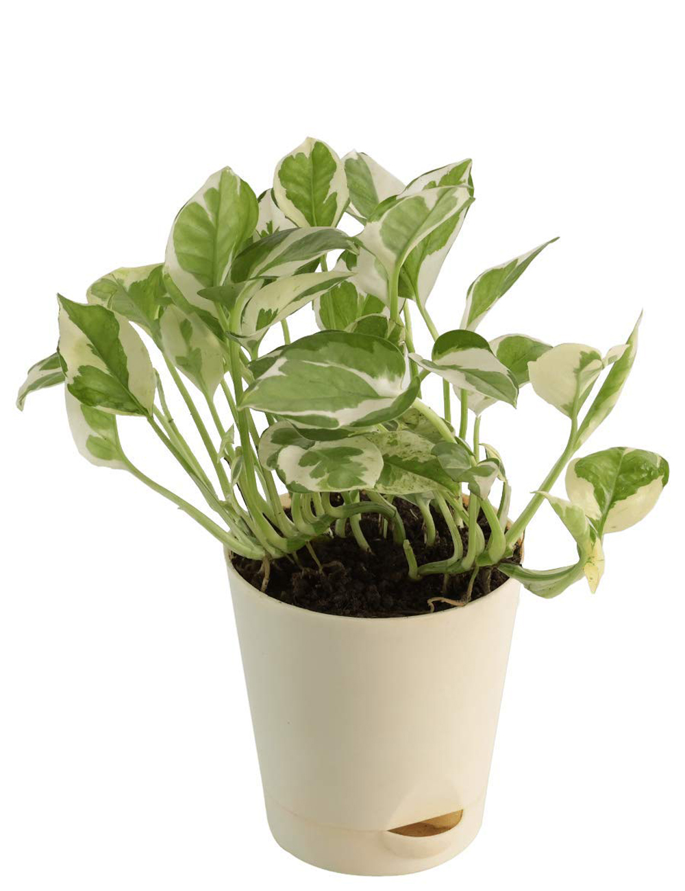 Money Plant N Joy With Self Watering Pot
