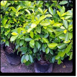 Ficus Panda - Plant