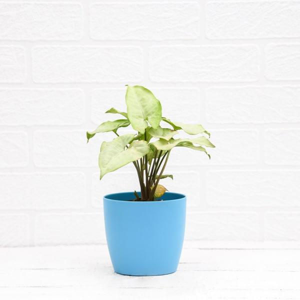 Syngonium Podophyllum Silver Pearl - Plant