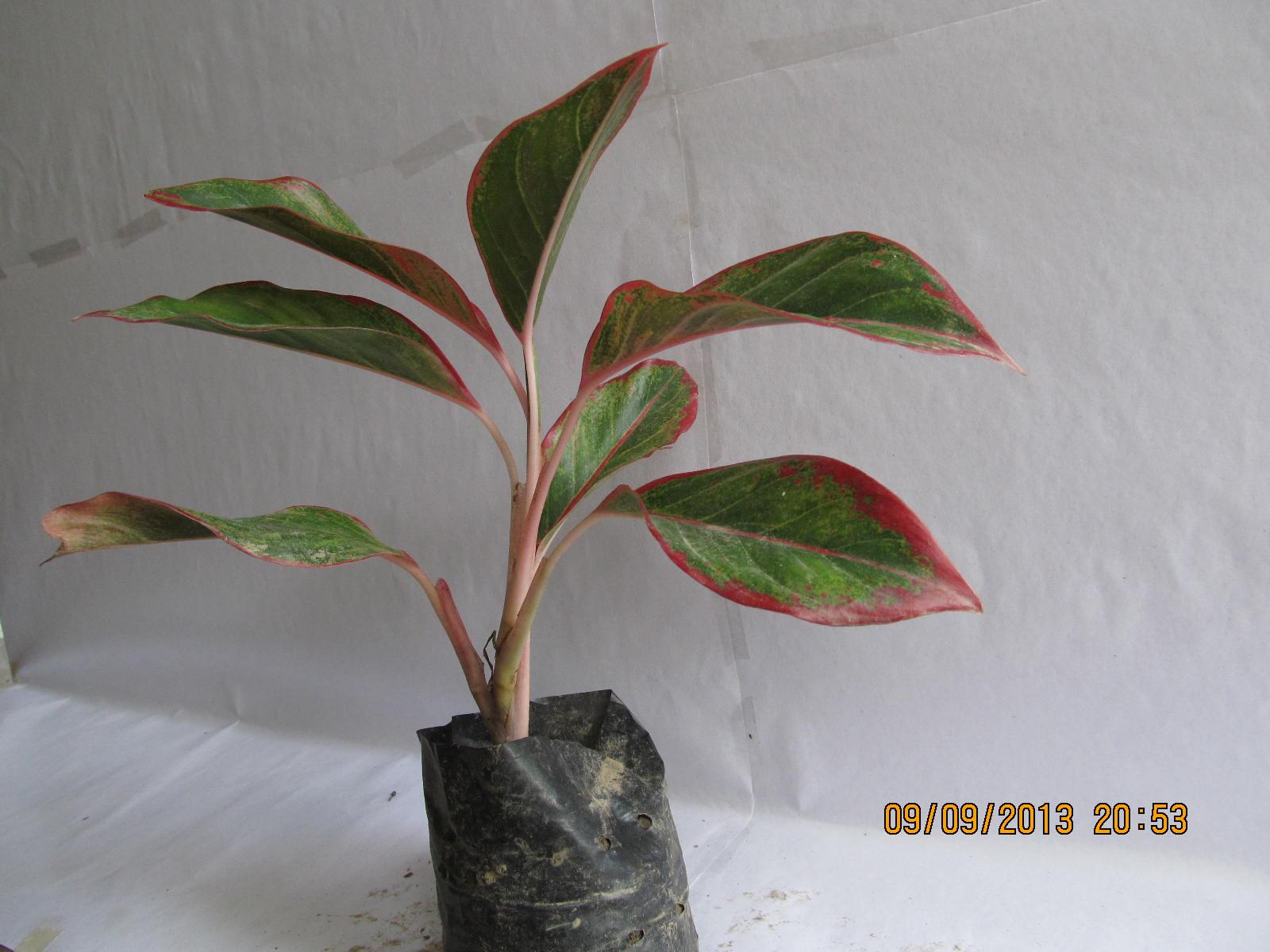 Red Aglaonema Show Plant