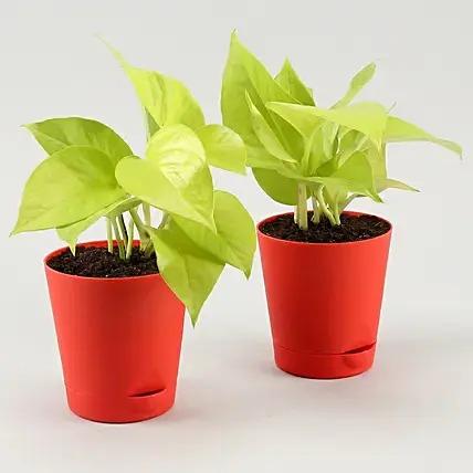Golden Money Plant Duo In Red Self Watering Pots