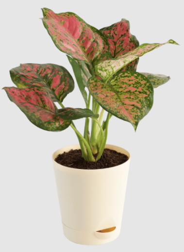 Aglaonema Red Natural Live Plant With Self Watering Pot