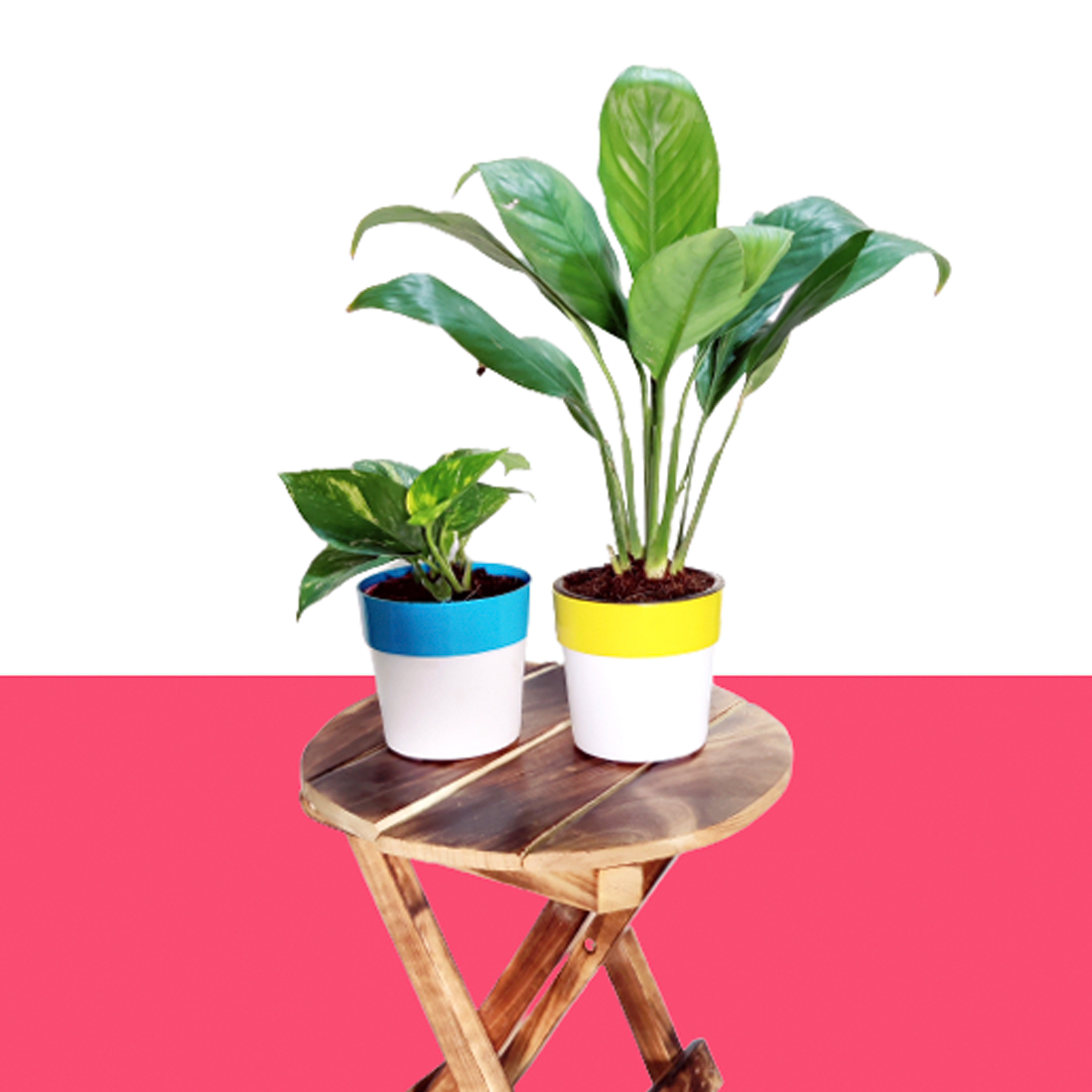 Air Purifier Plant Combo Pack - Green Money Plant & Peace Lily In Dual Color Pot