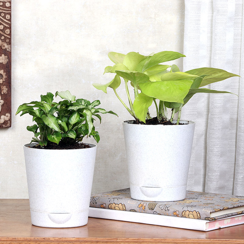 Indoor Plants With Pot For Home - Syngonium & Money Plant Variegated