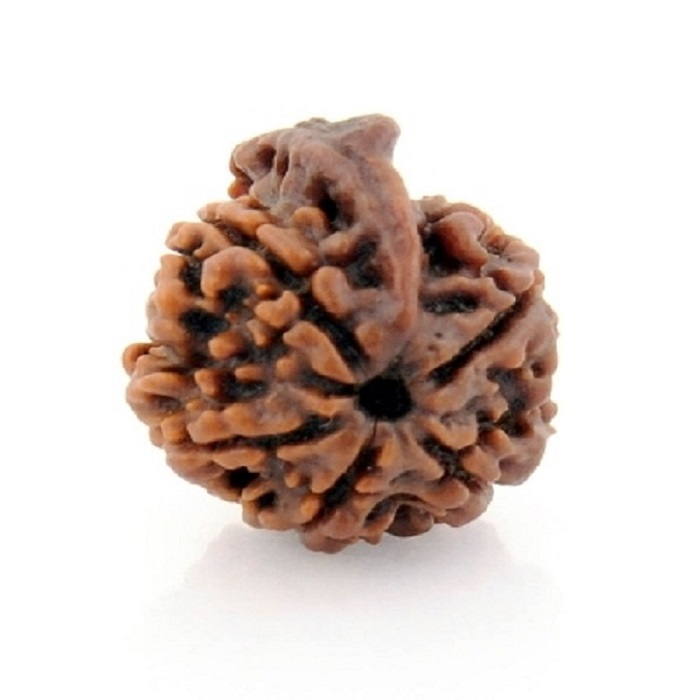 Numeroastro Original & Natural 5 Mukhi Rudraksha Bead For Good Fortune (1 Pc)