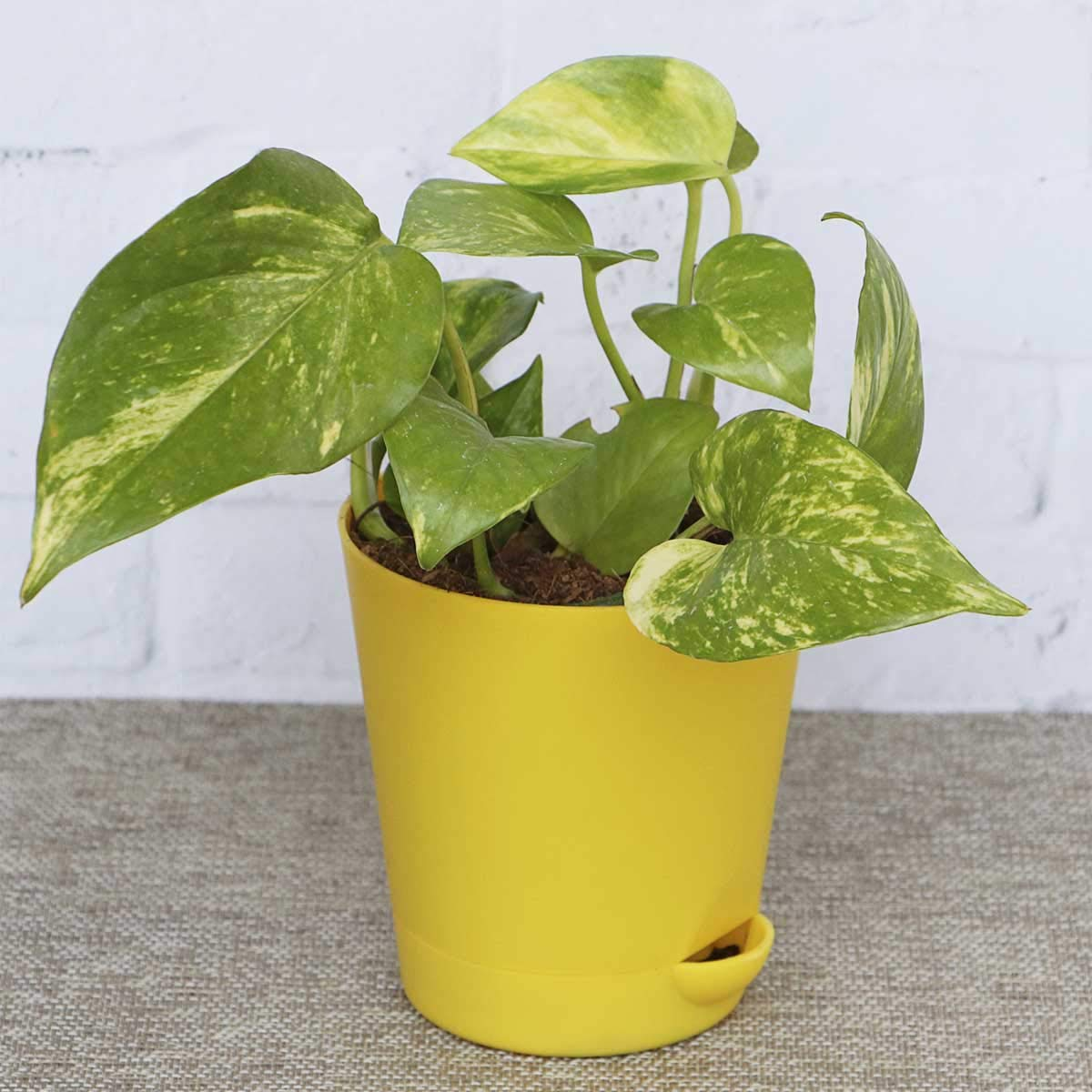 Good Luck Money Plant Variegated With Self Watering Pot